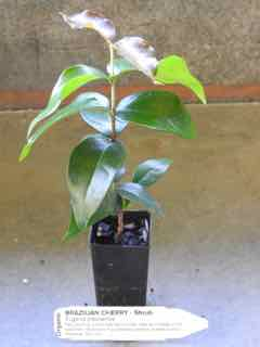 Brazilian Cherry 40mm tube