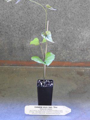 Chinese Wild Yam plant