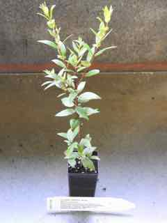 Culinary Myrtle plant
