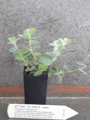 Dittany plant