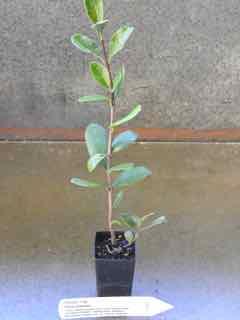 Feijoa plant