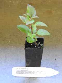 Forsythia plant