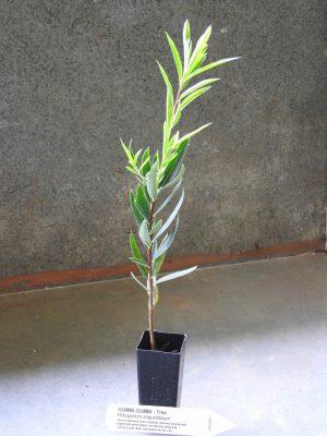 Gumbi Gumbi plant