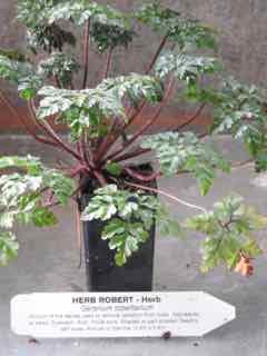 Herb Robert plant