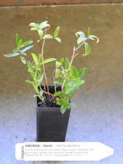 Heimia plant