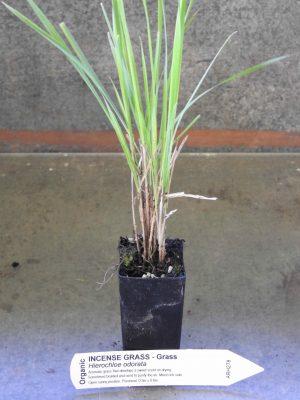 Incense Grass plant