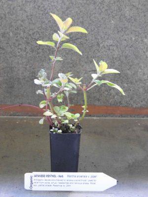 Japanese Menthol plant