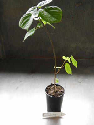Linden plant