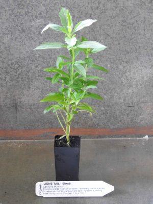 Lions Tail plant