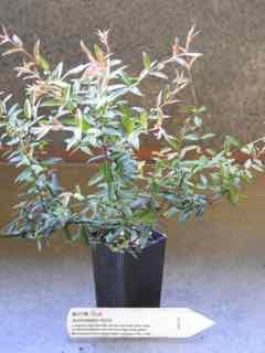 Midyim plant