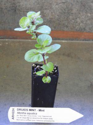 Druids Mint plant
