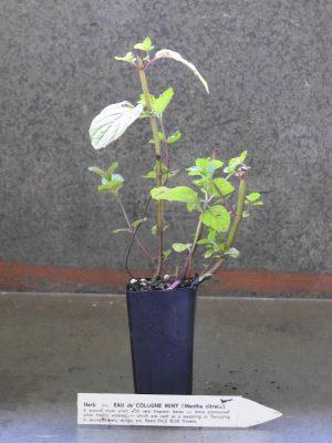 Eau de Cologne Mint plant