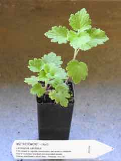 Motherwort plant