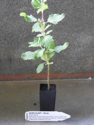 Musk Plant