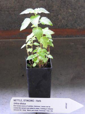Stinging Nettle plant