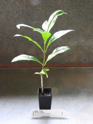Noni plant