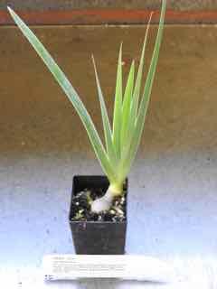 Orris plant