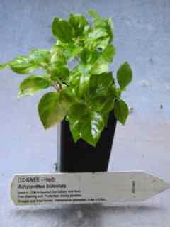 Ox-Knee plant