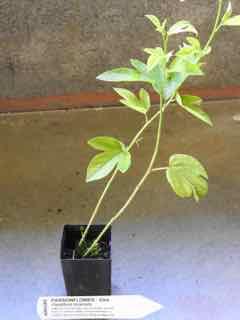 Passionflower plant
