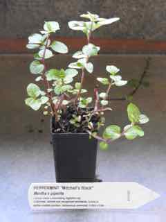 Black Peppermint plant