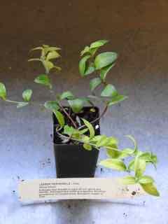 Lesser Periwinkle plant