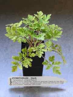Pyrethrum plant