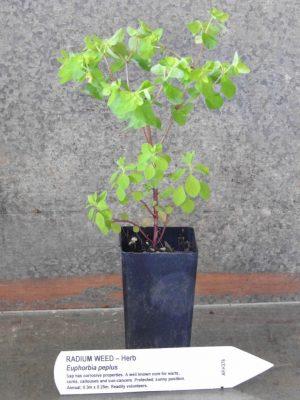 Radium Weed plant