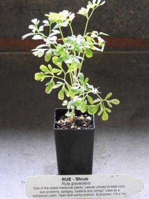 Rue plant