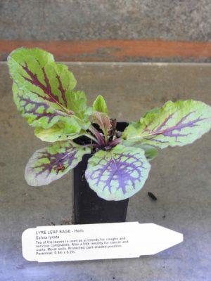 Lyre Leaf Sage plant