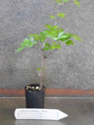 Siberian Ginseng plant