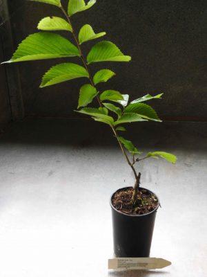 Slippery Elm plant