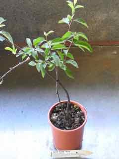Sloe Plum plant