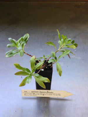 Soapwort plant