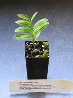 Solomons Seal plant