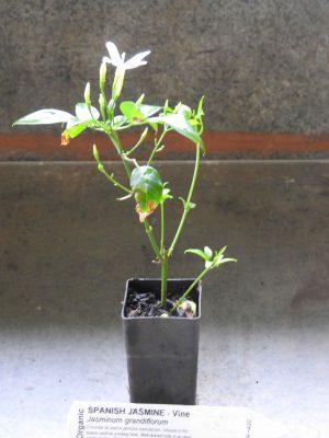 Spanish Jasmine plant