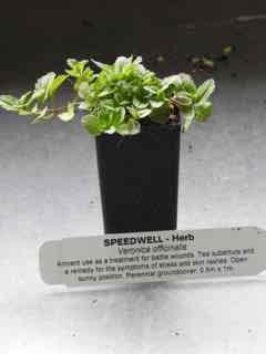 Speedwell plant