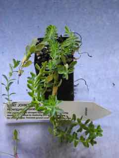 Saint John's Wort Plant