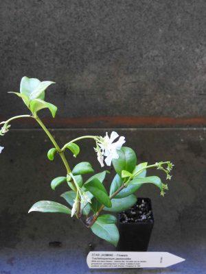 Star Jasmine plant