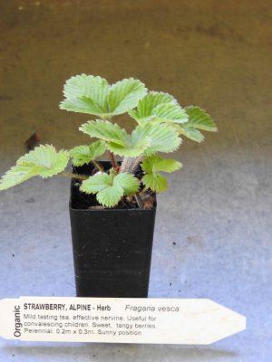 Alpine Strawberry plant