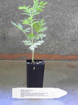 Sweet Annie plant
