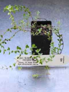 Wild Thyme plant