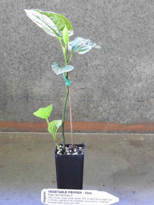 Vegetable Pepper plant