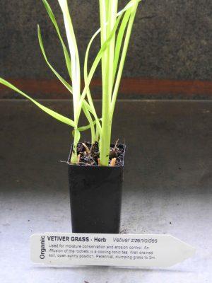 Vetiver Grass plant