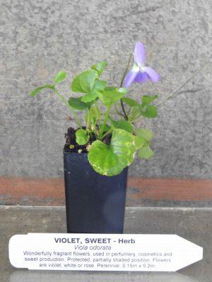 Sweet Violet plant