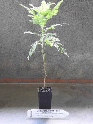 Roman Wormwood plant