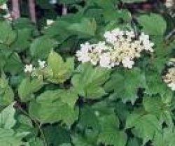 Crampbark plant