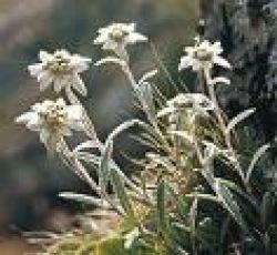 Edelweiss, 100ml tube