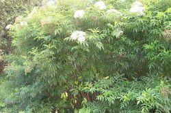 Elderberry mature species