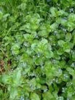 Brooklime plant