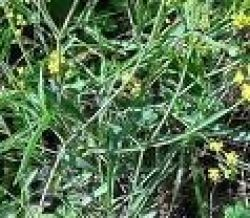Bupleurum, 100ml tube